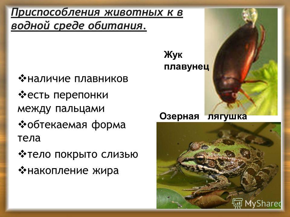 Приспособления животных к в водной среде обитания. наличие плавников есть перепонки между пальцами обтекаемая форма тела тело покрыто слизью накопление жира Жук плавунец Озерная лягушка
