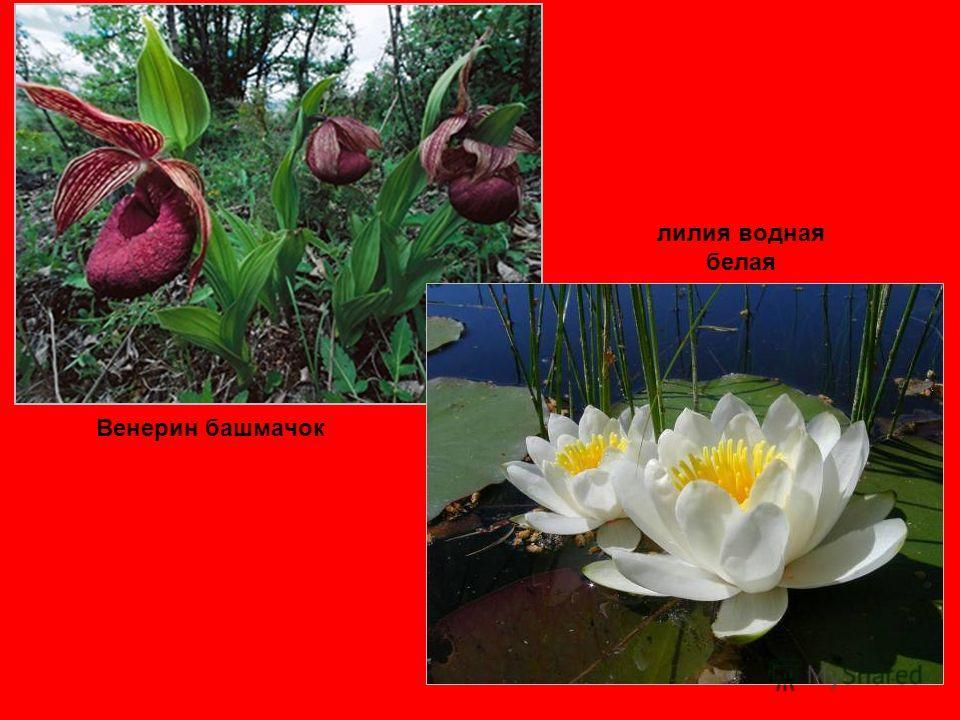 лилия водная белая Венерин башмачок