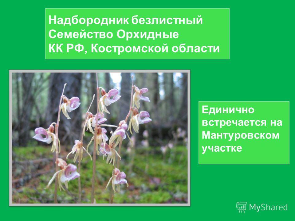 Надбородник безлистный Семейство Орхидные КК РФ, Костромской области Единично встречается на Мантуровском участке