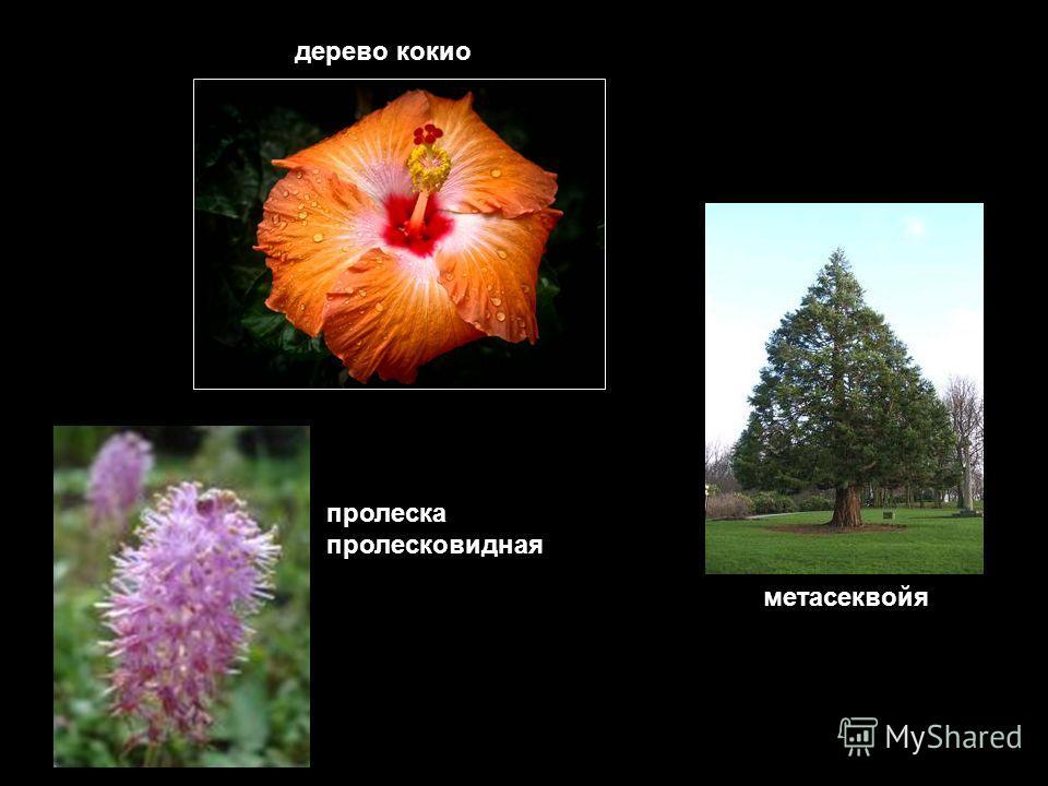 дерево кокио метасеквойя пролеска пролесковидная
