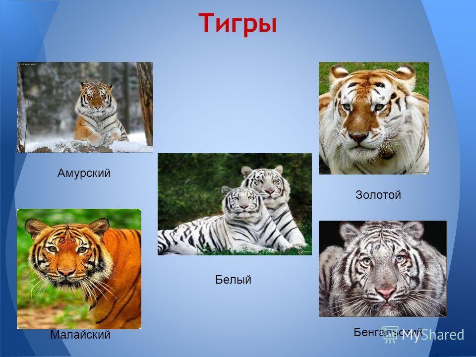 Тигры Амурский Золотой Белый Малайский Бенгальский