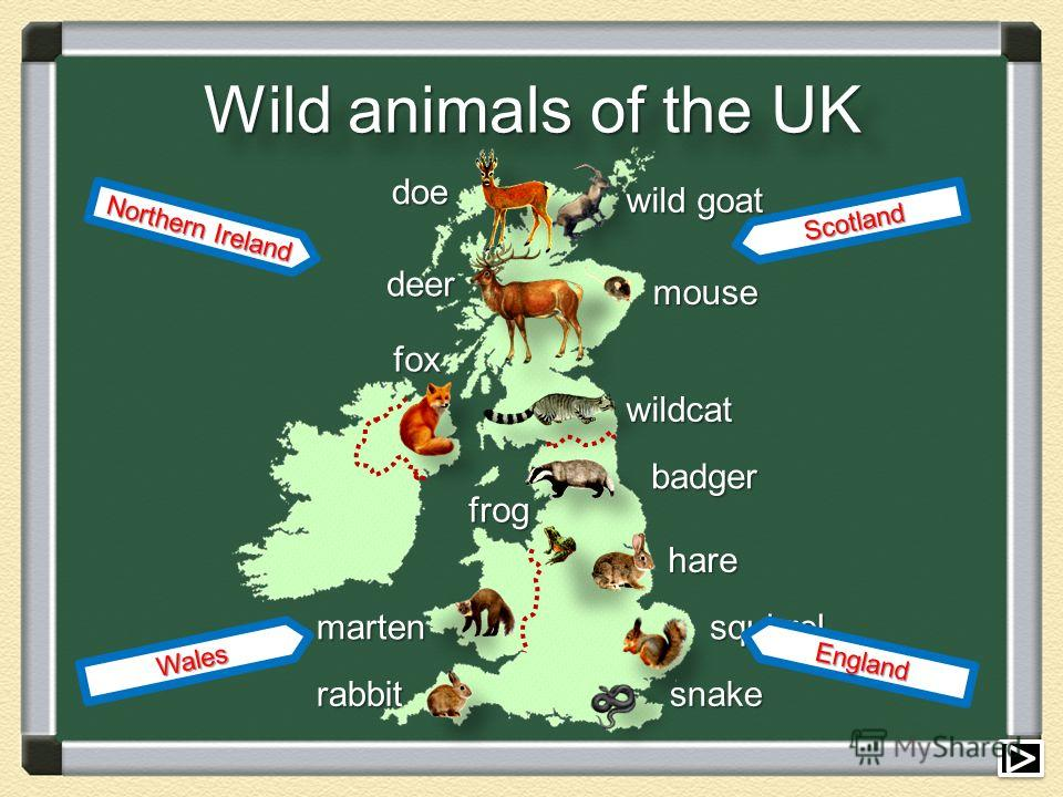 Wild animals of the UK rabbit fox fox deer deer marten doe wild goat mouse mouse wildcat badger hare squirrel snake snake frog frog England Wales Northern Ireland Scotland