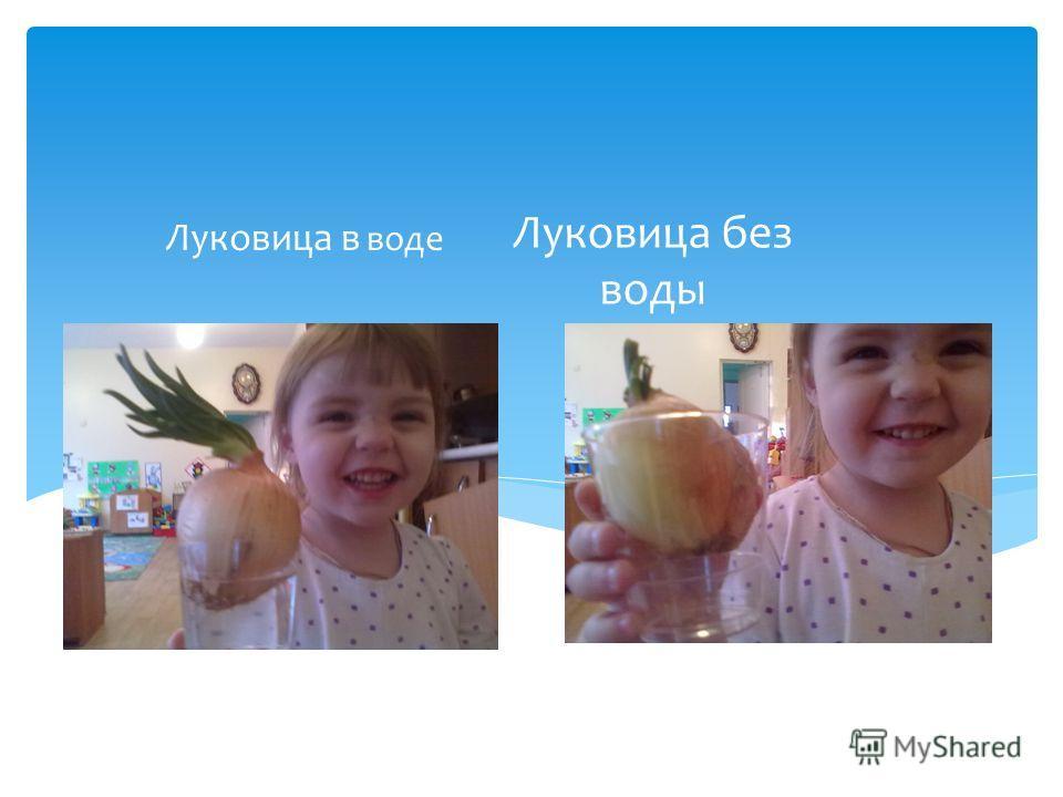 Луковица без воды Луковица в воде