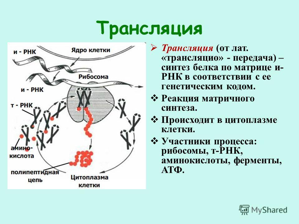Трансляция Трансляция (от лат. «трансляцио» - передача) – синтез белка по матрице и- РНК в соответствии с ее генетическим кодом. Реакция матричного синтеза. Происходит в цитоплазме клетки. Участники процесса: рибосомы, т-РНК, аминокислоты, ферменты,