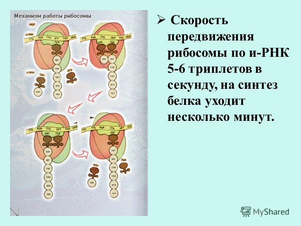 Скорость передвижения рибосомы по и-РНК 5-6 триплетов в секунду, на синтез белка уходит несколько минут.