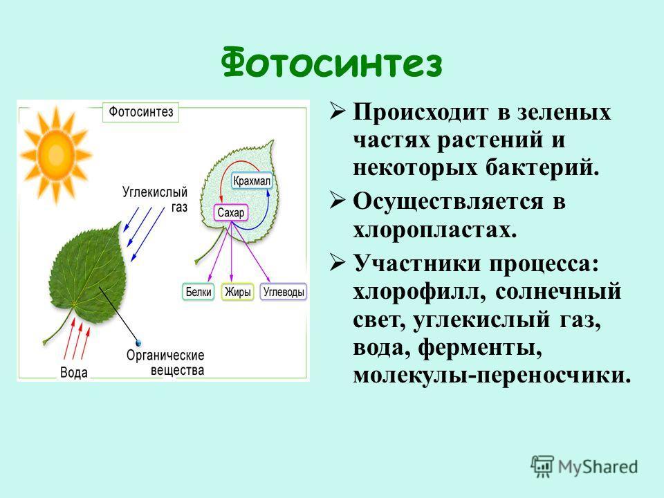 Фотосинтез Происходит в зеленых частях растений и некоторых бактерий. Осуществляется в хлоропластах. Участники процесса: хлорофилл, солнечный свет, углекислый газ, вода, ферменты, молекулы-переносчики.