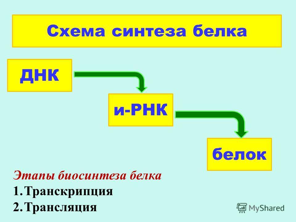 ДНК и-РНК белок Схема синтеза белка Этапы биосинтеза белка 1.Транскрипция 2.Трансляция