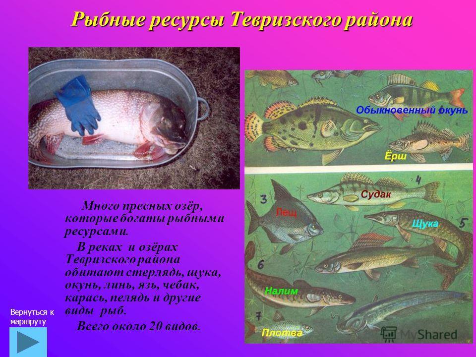 Рыбные ресурсы Тевризского района Много пресных озёр, которые богаты рыбными ресурсами. В реках и озёрах Тевризского района обитают стерлядь, щука, окунь, линь, язь, чебак, карась, пелядь и другие виды рыб. Всего около 20 видов. Вернуться к маршруту