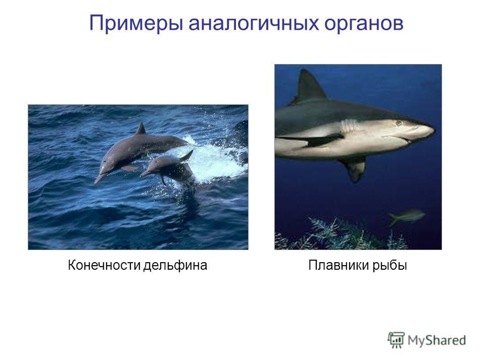 Примеры аналогичных органов Плавники рыбыКонечности дельфина