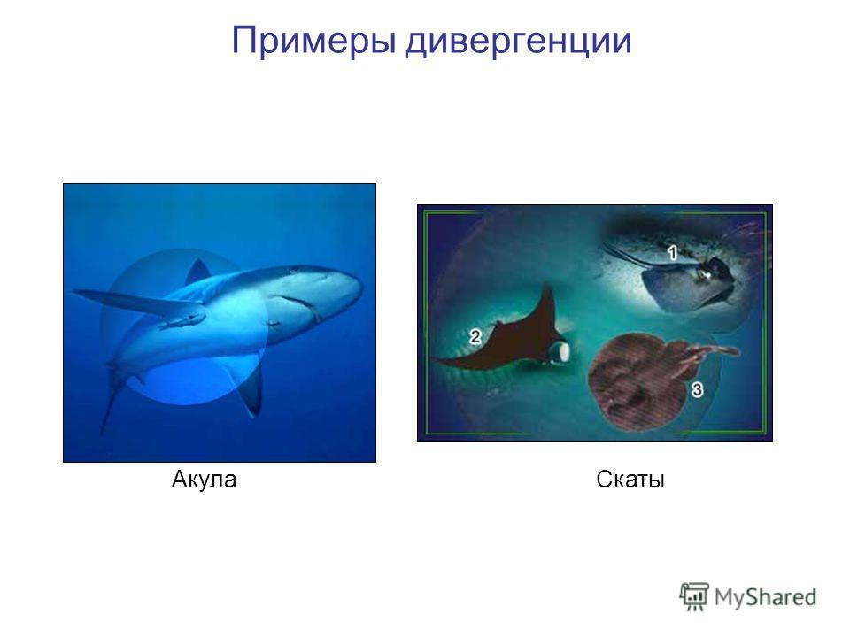 АкулаСкаты