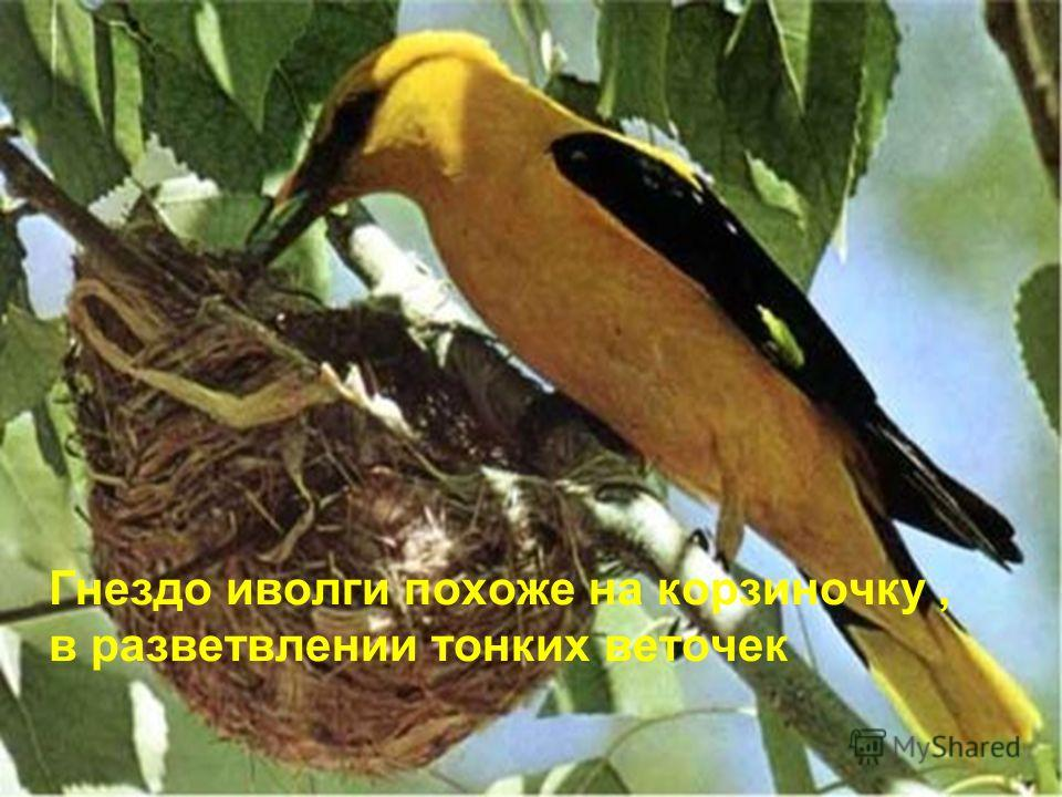 Гнездо иволги похоже на корзиночку, в разветвлении тонких веточек