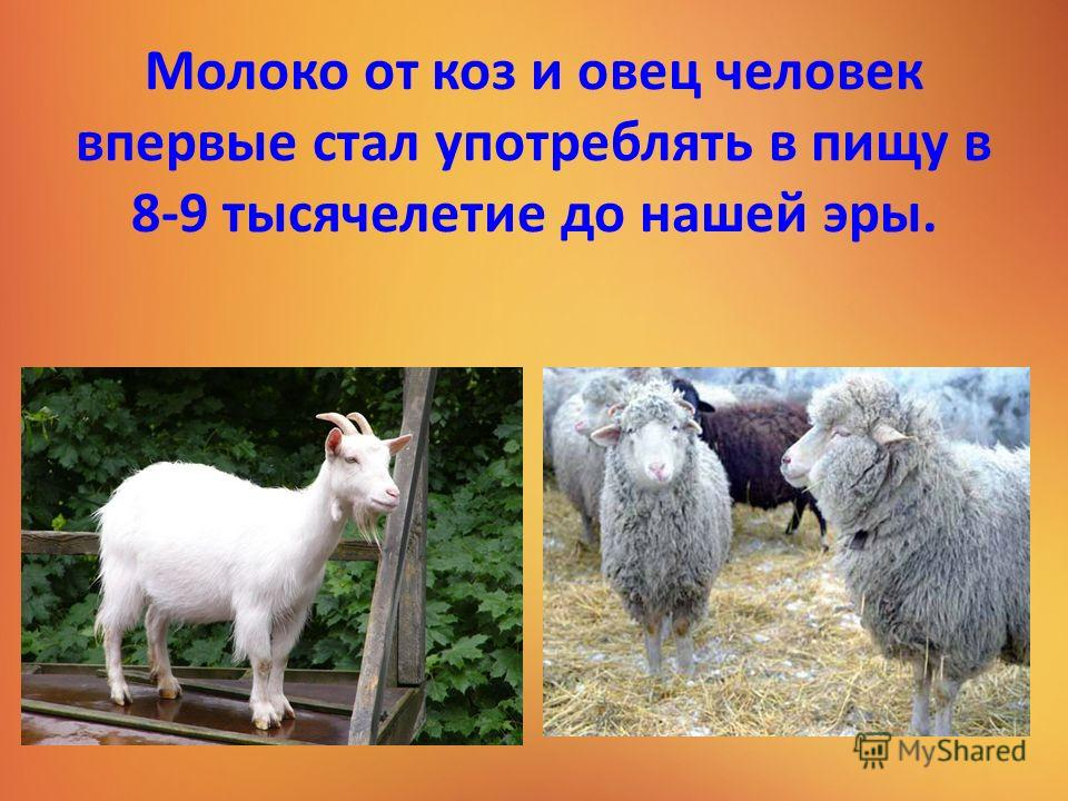 Молоко от коз и овец человек впервые стал употреблять в пищу в 8-9 тысячелетие до нашей эры.