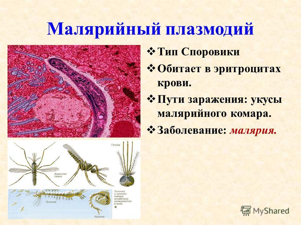 Малярийный плазмодий Тип Споровики Обитает в эритроцитах крови. Пути заражения: укусы малярийного комара. Заболевание: малярия.