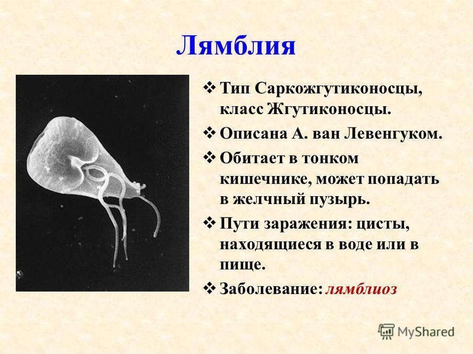 Лямблия Тип Саркожгутиконосцы, класс Жгутиконосцы. Описана А. ван Левенгуком. Обитает в тонком кишечнике, может попадать в желчный пузырь. Пути заражения: цисты, находящиеся в воде или в пище. Заболевание: лямблиоз