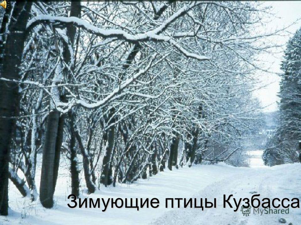 Зимующие птицы Кузбасса