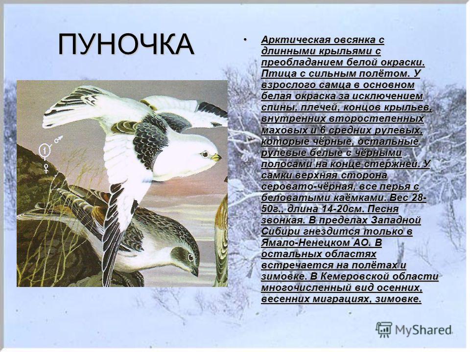 ПУНОЧКА Арктическая овсянка с длинными крыльями с преобладанием белой окраски. Птица с сильным полётом. У взрослого самца в основном белая окраска за исключением спины, плечей, концов крыльев, внутренних второстепенных маховых и 6 средних рулевых, ко