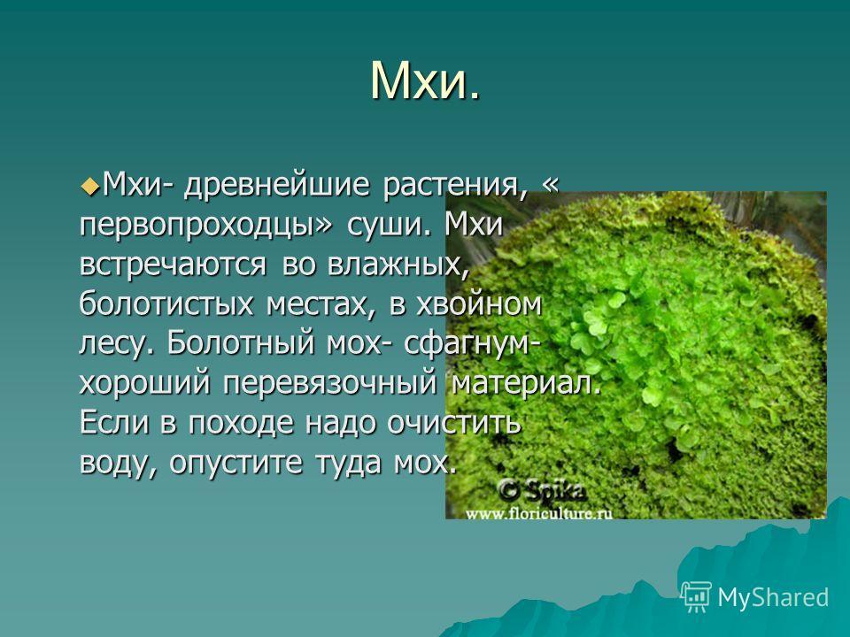 Мхи. Мхи- древнейшие растения, « первопроходцы» суши. Мхи встречаются во влажных, болотистых местах, в хвойном лесу. Болотный мох- сфагнум- хороший перевязочный материал. Если в походе надо очистить воду, опустите туда мох. Мхи- древнейшие растения,