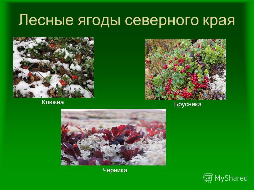 Лесные ягоды северного края Клюква Черника Брусника