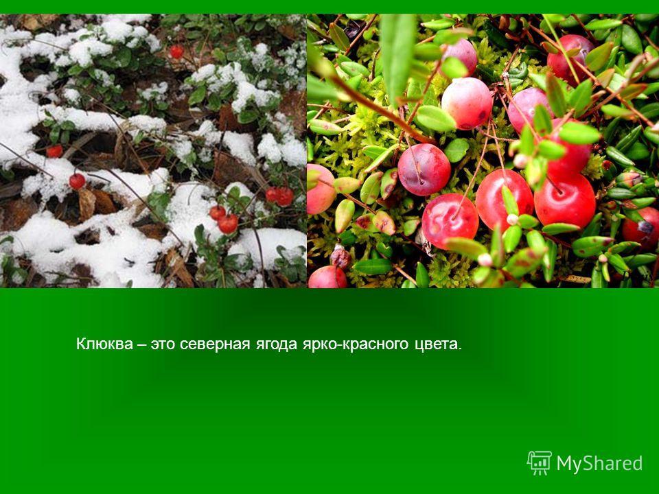 Клюква – это северная ягода ярко-красного цвета.