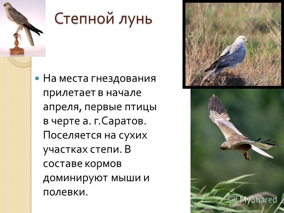Степной лунь На места гнездования прилетает в начале апреля, первые птицы в черте а. г. Саратов. Поселяется на сухих участках степи. В составе кормов доминируют мыши и полевки.