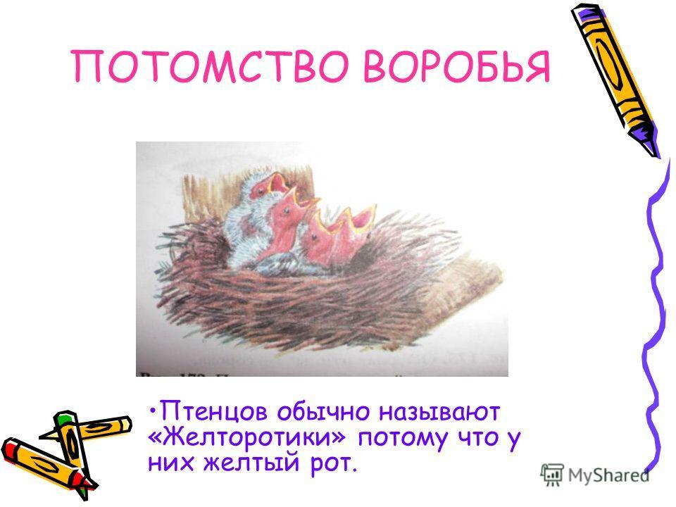 Воробьиные, семейство птиц воробьинообразных. Длина 10 – 18 см. В окраске оперения преобладают бурые, рыжие, серые и желтые тона. Воробьи обитают в лесостепях и степях нашей области. В России 7 видов. Наиболее широко распространены: полевой, домовой