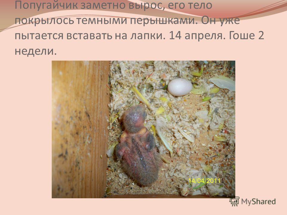 Попугайчик заметно вырос, его тело покрылось темными перышками. Он уже пытается вставать на лапки. 14 апреля. Гоше 2 недели.