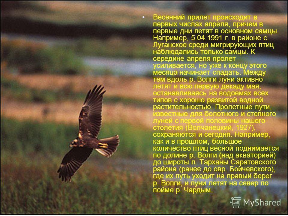 Весенний прилет происходит в первых числах апреля, причем в первые дни летят в основном самцы. Например, 5.04.1991 г. в районе с. Луганское среди мигрирующих птиц наблюдались только самцы. К середине апреля пролет усиливается, но уже к концу этого ме