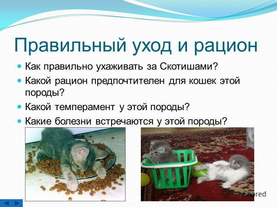 Правильный уход и рацион Как правильно ухаживать за Скотишами? Какой рацион предпочтителен для кошек этой породы? Какой темперамент у этой породы? Какие болезни встречаются у этой породы?