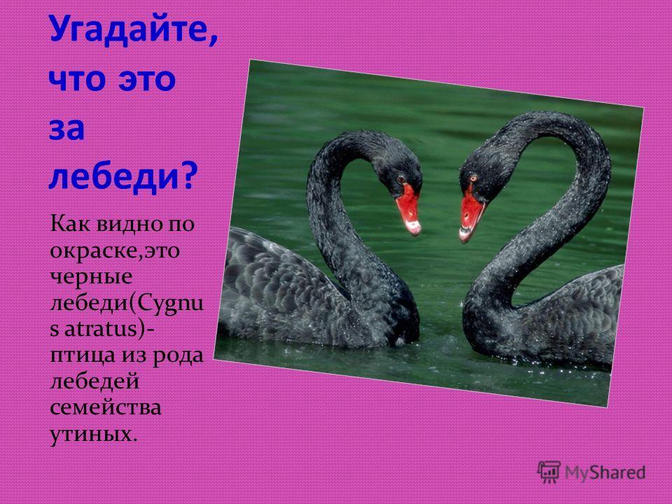 Угадайте, что это за лебеди? Как видно по окраске,это черные лебеди(Cygnu s atratus)- птица из рода лебедей семейства утиных.