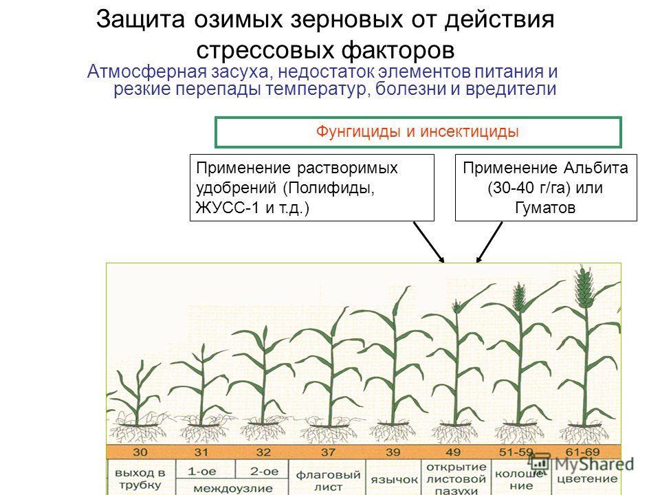 Защита озимых зерновых от действия стрессовых факторов Атмосферная засуха, недостаток элементов питания и резкие перепады температур, болезни и вредители Применение Альбита (30-40 г/га) или Гуматов Применение растворимых удобрений (Полифиды, ЖУСС-1 и