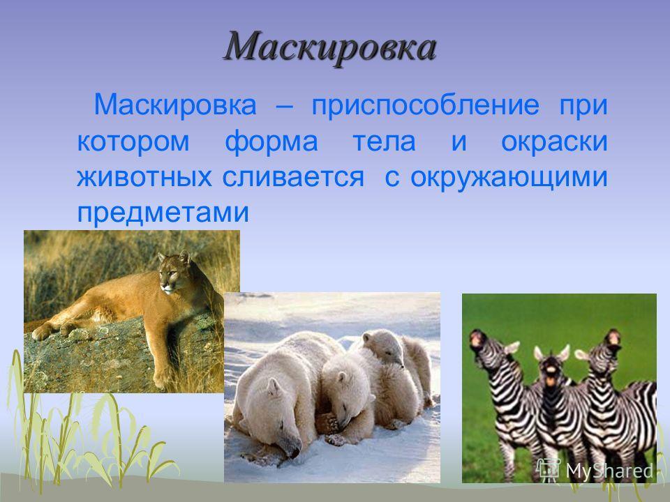 Маскировка Маскировка – приспособление при котором форма тела и окраски животных сливается с окружающими предметами