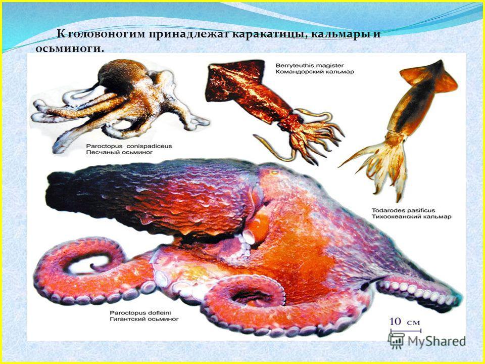К головоногим принадлежат каракатицы, кальмары и осьминоги. Эти животные обладают такой высокой организацией, так что их называют приматами моря. Название «головоногие» означает, что мускулистый орган движения - нога, расположен у них в головном отде