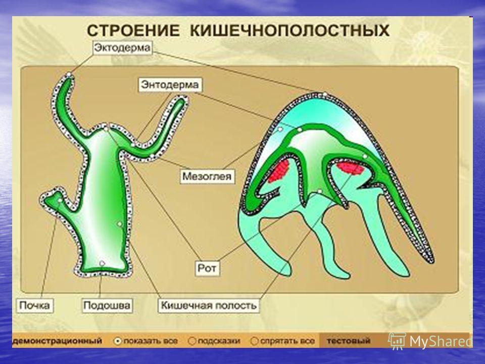 Рисунок кишечнополостных животных