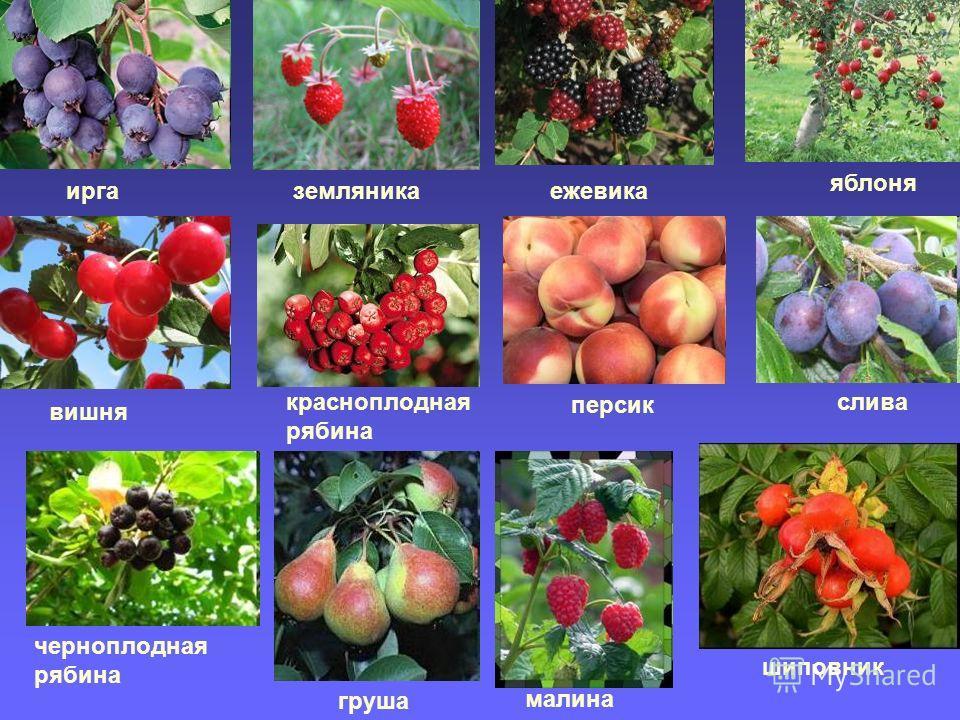 иргаземляникаежевика яблоня вишня красноплодная рябина персик слива груша малина шиповник черноплодная рябина