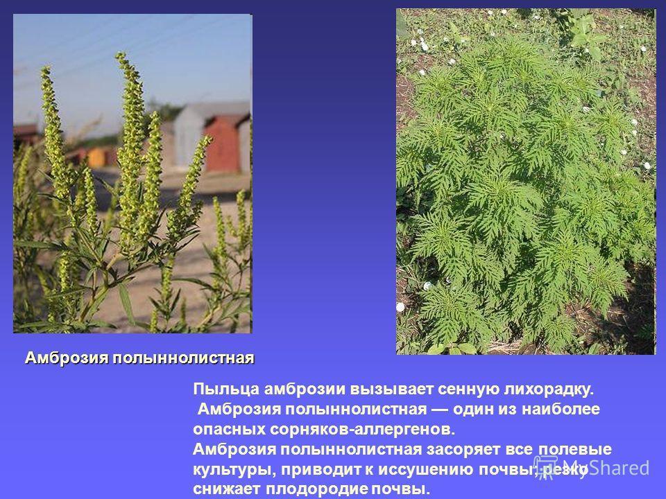 Амброзия полыннолистная Пыльца амброзии вызывает сенную лихорадку. Амброзия полыннолистная один из наиболее опасных сорняков-аллергенов. Амброзия полыннолистная засоряет все полевые культуры, приводит к иссушению почвы; резко снижает плодородие почвы