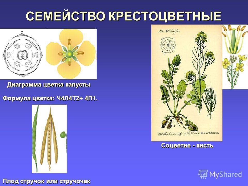 Диаграмма цветка капусты Формула цветка: Ч4Л4Т2+ 4П1. Соцветие - кисть Плод стручок или стручочек