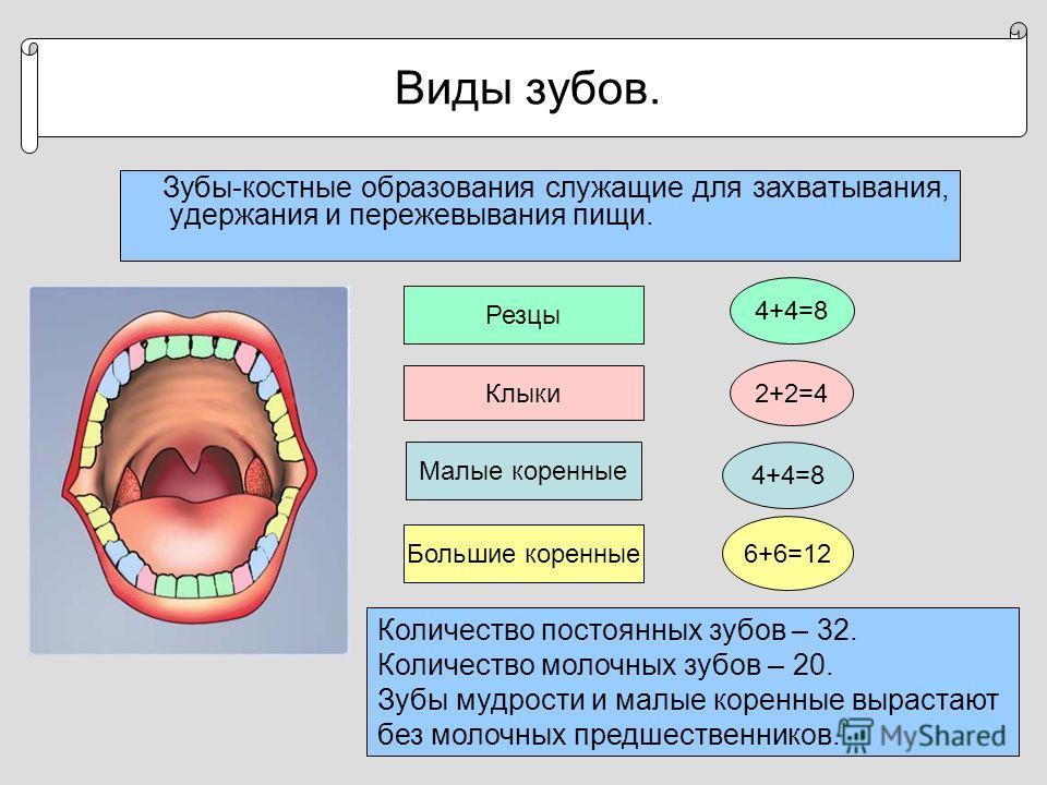 Виды зубов. Зубы-костные образования служащие для захватывания, удержания и пережевывания пищи. Резцы 4+4=8 Клыки 2+2=4 Малые коренные 4+4=8 Большие коренные 6+6=12 Количество постоянных зубов – 32. Количество молочных зубов – 20. Зубы мудрости и мал