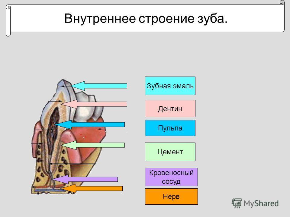 Внутреннее строение зуба. Зубная эмаль Дентин Цемент Кровеносный сосуд Нерв Пульпа