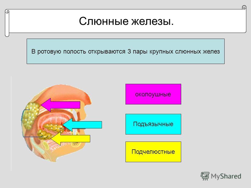 Строение и функции ротовой полости. В ротовую полость открываются 3 пары крупных слюнных желез Строение и функции ротовой полости. Слюнные железы. околоушные Подъязычные Подчелюстные