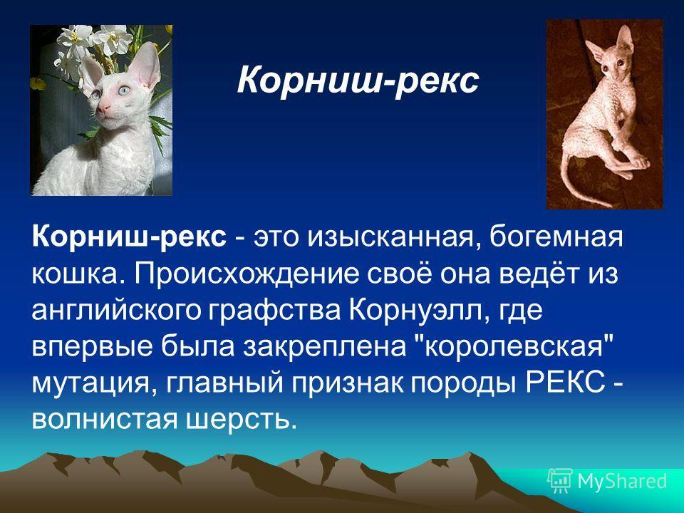 Корниш-рекс Корниш-рекс - это изысканная, богемная кошка. Происхождение своё она ведёт из английского графства Корнуэлл, где впервые была закреплена королевская мутация, главный признак породы РЕКС - волнистая шерсть.