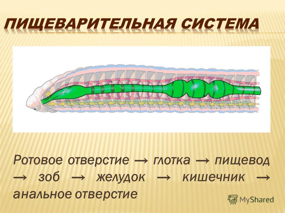 Ротовое отверстие глотка пищевод зоб желудок кишечник анальное отверстие
