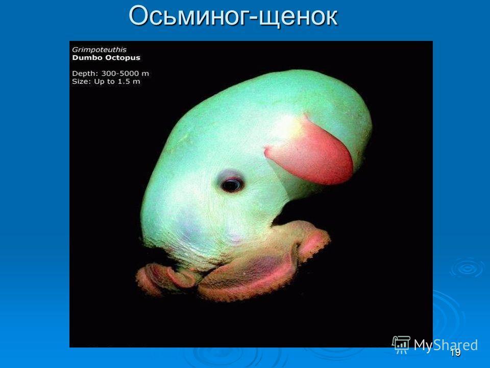 Осьминог-щенок 19