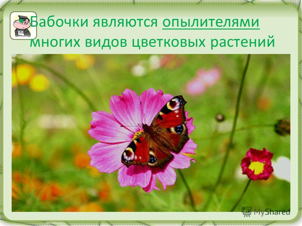 Бабочки являются опылителями многих видов цветковых растений