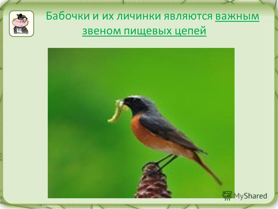 Бабочки и их личинки являются важным звеном пищевых цепей