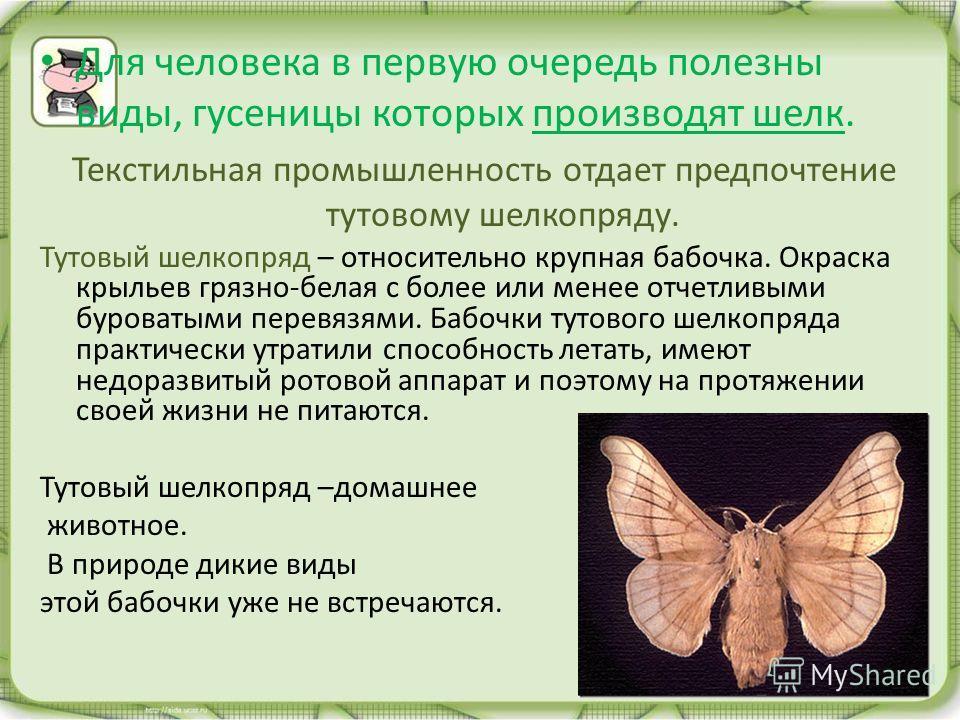 Для человека в первую очередь полезны виды, гусеницы которых производят шелк. Текстильная промышленность отдает предпочтение тутовому шелкопряду. Тутовый шелкопряд – относительно крупная бабочка. Окраска крыльев грязно-белая с более или менее отчетли