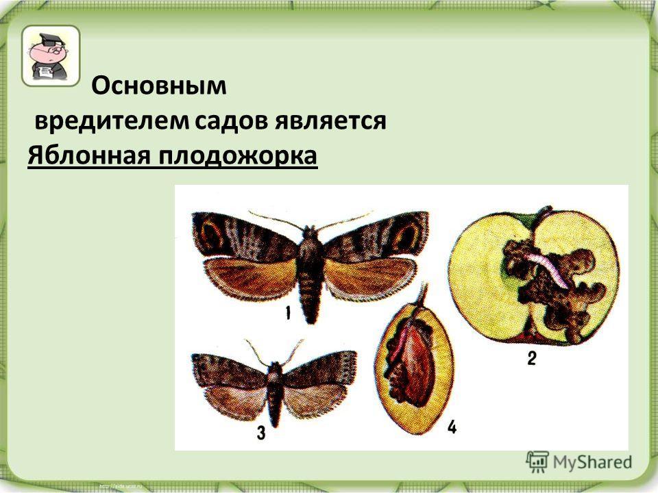 Основным вредителем садов является Яблонная плодожорка