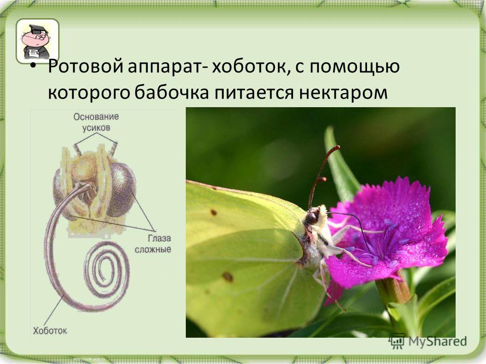 Ротовой аппарат- хоботок, с помощью которого бабочка питается нектаром
