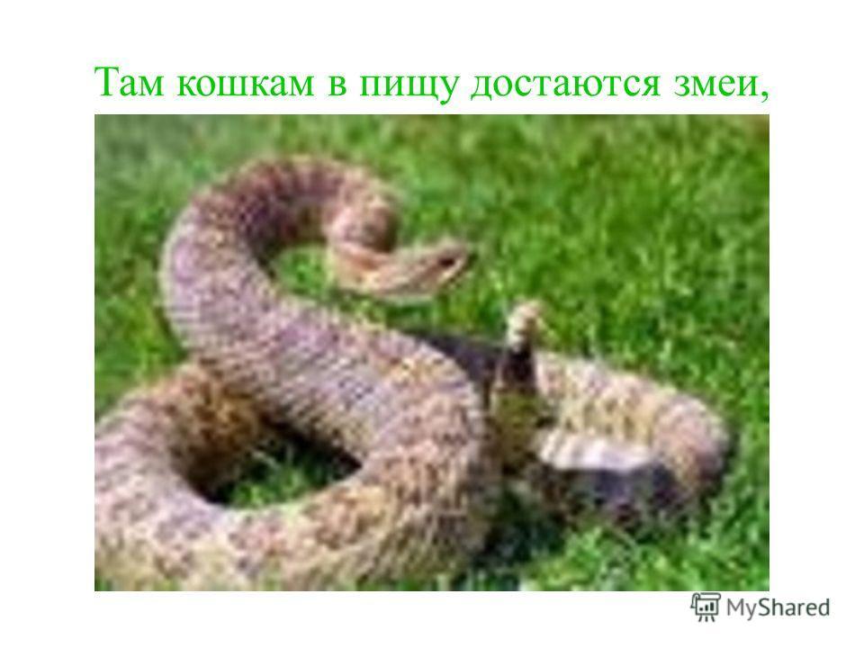 Там кошкам в пищу достаются змеи,