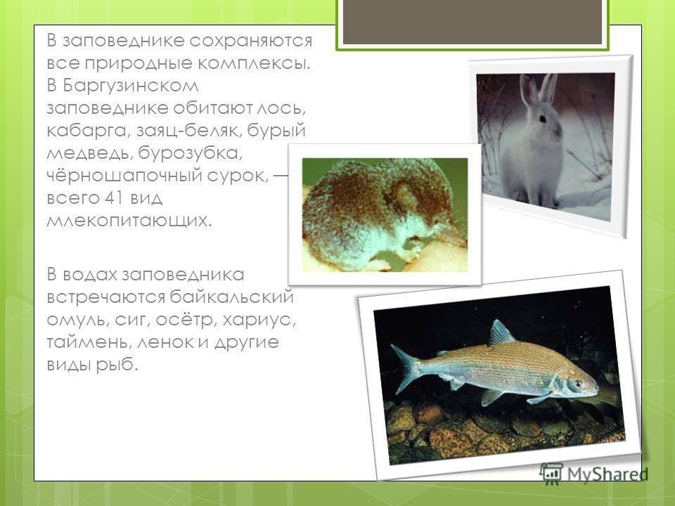 В заповеднике сохраняются все природные комплексы. В Баргузинском заповеднике обитают лось, кабарга, заяц-беляк, бурый медведь, бурозубка, чёрношапочный сурок, всего 41 вид млекопитающих. В водах заповедника встречаются байкальский омуль, сиг, осётр,