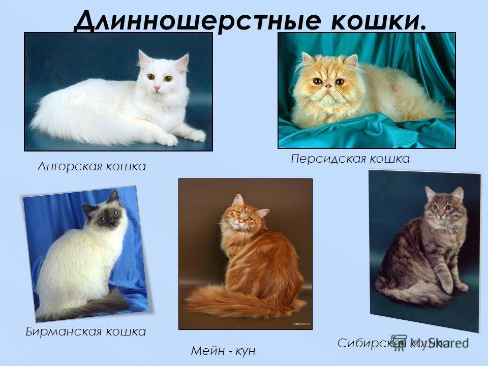 Ангорская кошка Бирманская кошка Мейн - кун Сибирская кошка Персидская кошка Длинношерстные кошки.
